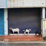 Drei_Ziegen_Indien