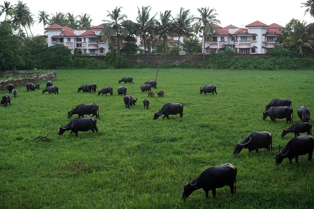 Wasserbüffel_Feld_Benaulim_Goa